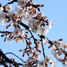 1-15.03.26 枝垂桜.jpg
