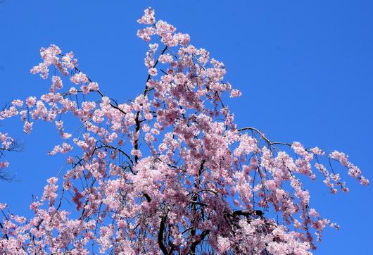 1-15.03.29 城内枝垂桜-1.jpg