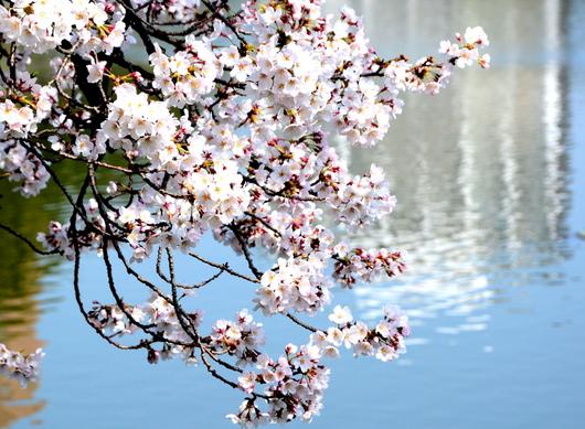 1-15.04.01 和歌山城公園-10.jpg
