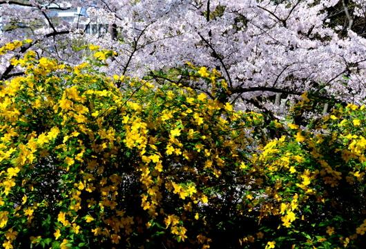 1-15.04.04 山吹の花-4.jpg