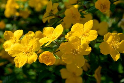 1-15.04.04 山吹の花-5.jpg