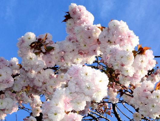 1-15.04.13 八重桜-2.jpg