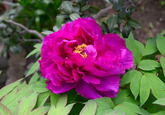 1-15.04.18 自宅の牡丹紫.jpg