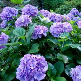 1-15.06.19 紫陽花-2.jpg