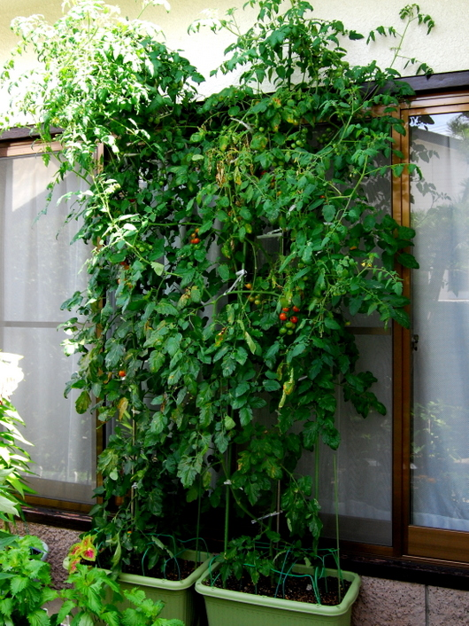 1-15.07.15 プランターのトマト.jpg