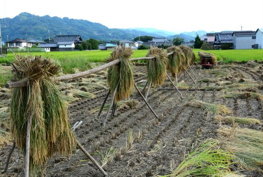 1-15.09.23 お彼岸詣り.稲刈り.jpg