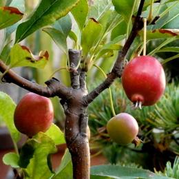 1-15.10.16 姫リンゴ.jpg
