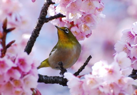 1-16.02.07 嘉ヶ作寒緋桜-4.jpg