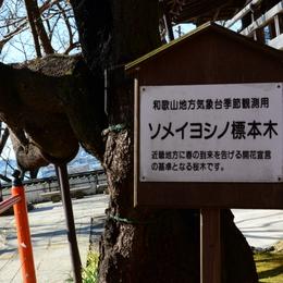 1-16.03.10 2番 紀三井寺ソメイヨシノ標本木.jpg