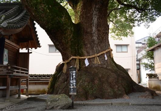 1-16.03.13 3番粉河寺御神木.jpg