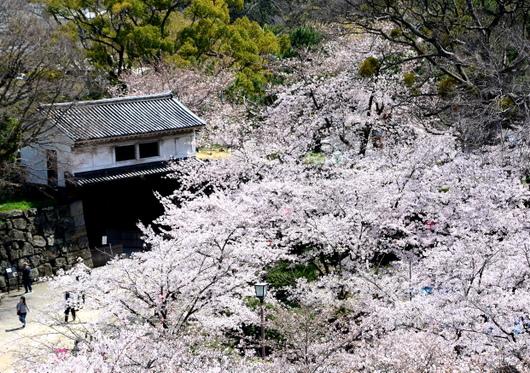 1-16.04.02 城内桜-3.jpg