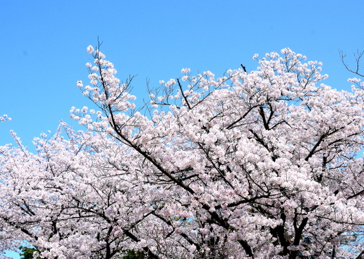 1-16.04.02 城内桜-6.jpg