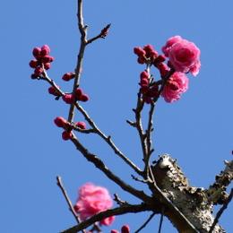 1-16.04.05 8番 長谷寺紀貫之故里の梅の花.jpg