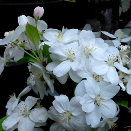 1-16.04.12 ヒメリンゴ.jpg