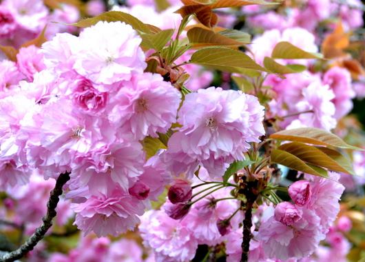 1-16.04.15 八重桜-12.jpg