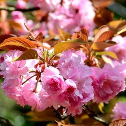 1-16.04.15 八重桜-14.jpg