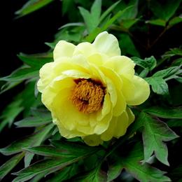 1-16.04.26 自宅の牡丹黄色-1.jpg