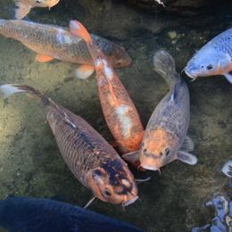 1-16.05.02 13番 石山寺池の鯉.jpg