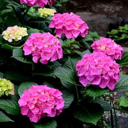 1-16.06.07 紫陽花-1.jpg