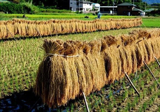 1-16.09.25 稲の天日干し.jpg