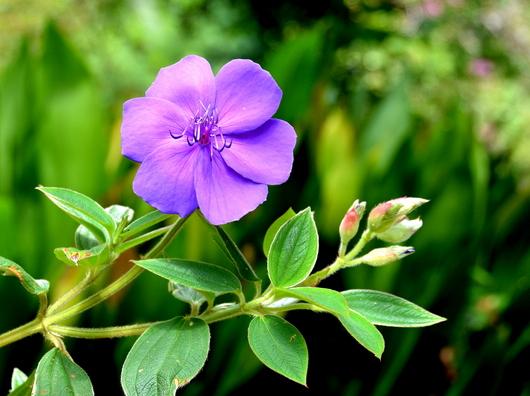 1-16.09.28 紫紺野牡丹-1.jpg
