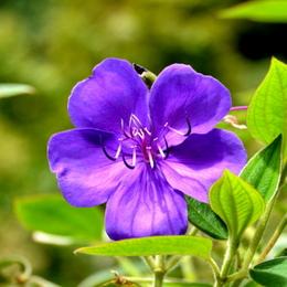 1-16.09.28 紫紺野牡丹-2.jpg