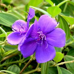 1-16.09.28 紫紺野牡丹-3.jpg