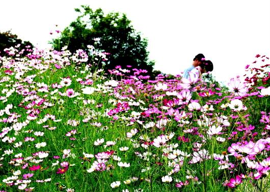 1-16.10.24 馬見公園コスモス-4.jpg
