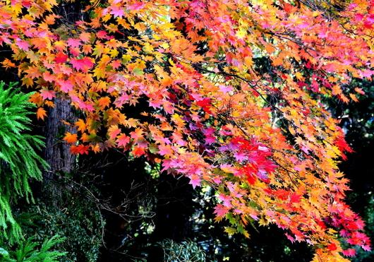 1-16.11.12 奥の院の紅葉-3.jpg
