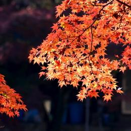 1-16.11.26 香嵐渓の紅葉-5.jpg