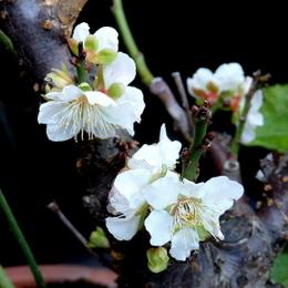 1-16.12.08 梅の花.jpg