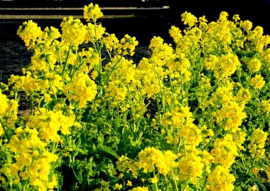 1-17.02.04 菜の花-1.jpg