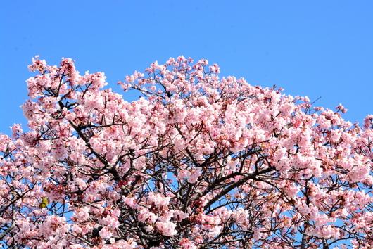 1-17.02.13 嘉ヶ作の桜-1.jpg