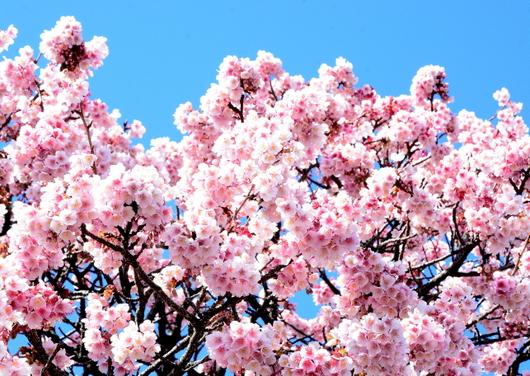 1-17.02.13 嘉ヶ作の桜-2.jpg
