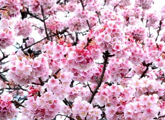 1-17.02.13 嘉ヶ作の桜-3.jpg