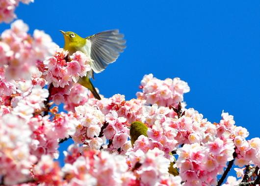 1-17.02.13 嘉ヶ作の桜-4.jpg