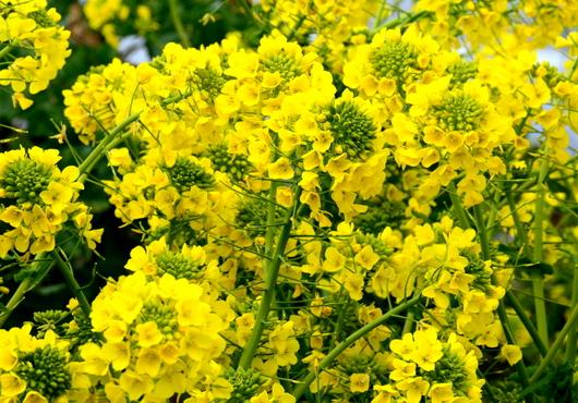 1-17.02.22 菜の花-2.jpg
