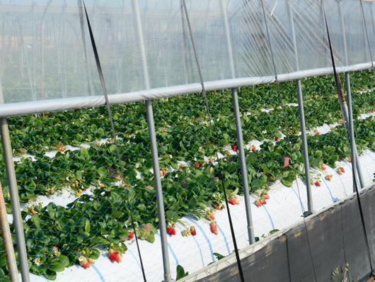 1-17.03.23 イチゴのハウス栽培.jpg