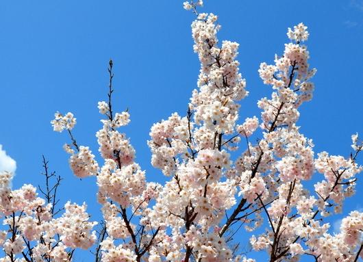 1-17.03.29 春めき桜.jpg