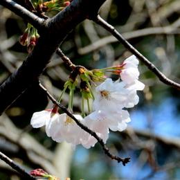 1-17.03.29 桜開花-3.jpg