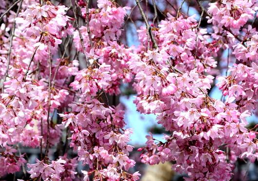 1-17.04.03 枝垂れ桜-1.jpg