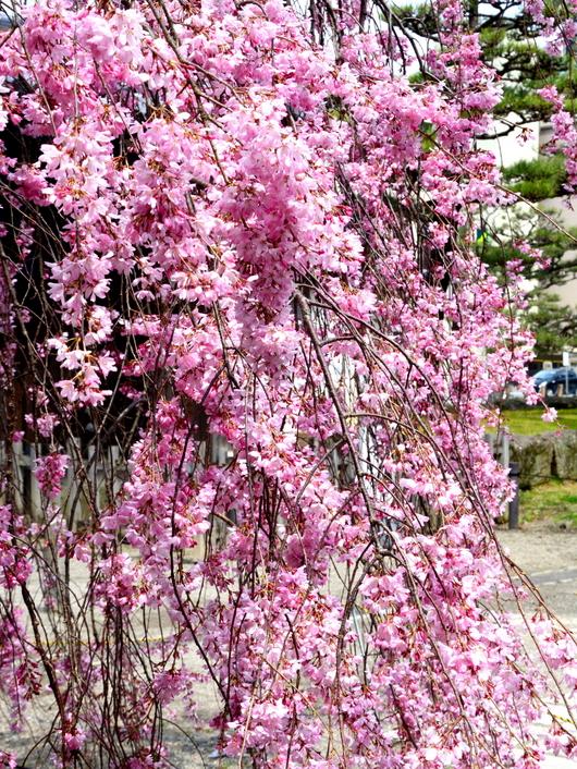 1-17.04.03 枝垂れ桜-2.jpg