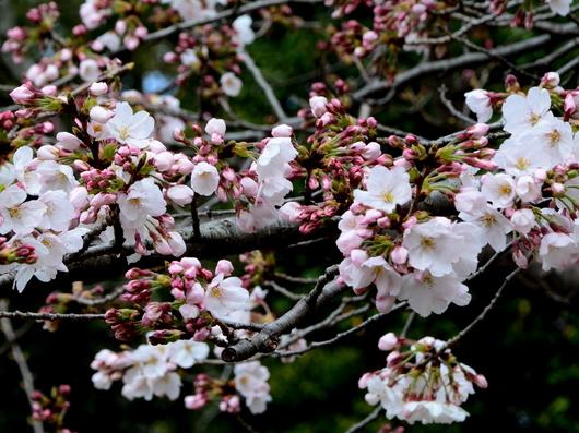 1-17.04.03 桜の開花状況-2.jpg
