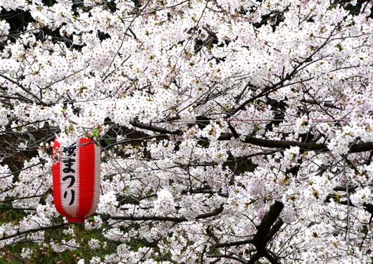 1-17.04.09 城内桜-4.jpg
