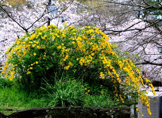 1-17.04.12 山吹の花-1.jpg