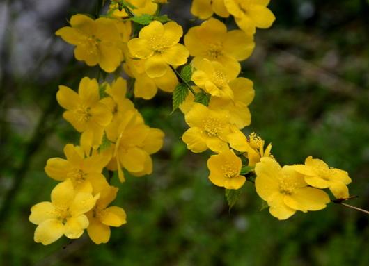 1-17.04.12 山吹の花-4.jpg