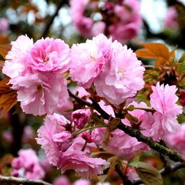 1-17.04.18 八重桜-3.jpg