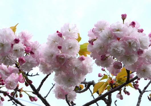 1-17.04.18 八重桜-5.jpg