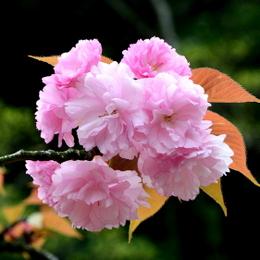 1-17.04.18 八重桜-6.jpg