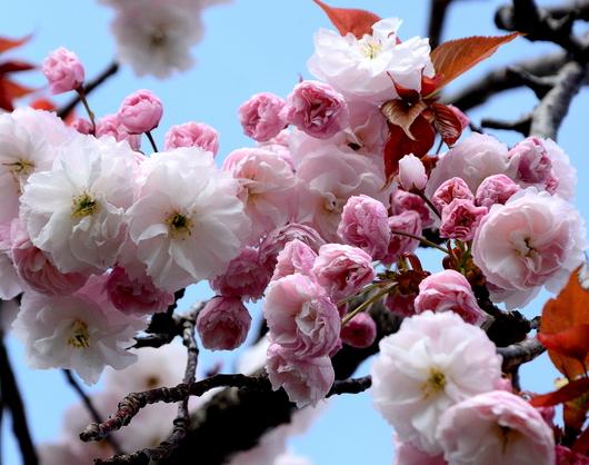 1-17.04.18 八重桜-7.jpg